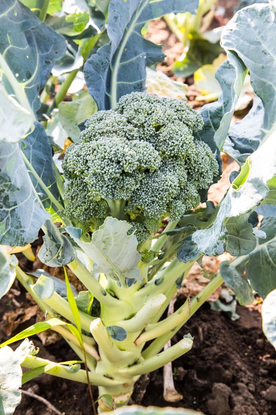 Broccoli by Emily Caruso