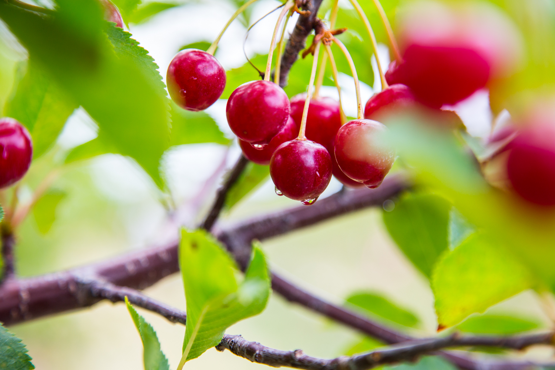 Cherry Harvest | JellyToastBlog.com